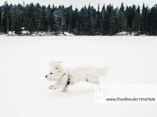 Coton de tulear Hund rennt in verschneiter Landschaft