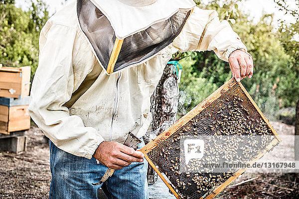 Imker hält Bienenstockrahmen mit Bienen