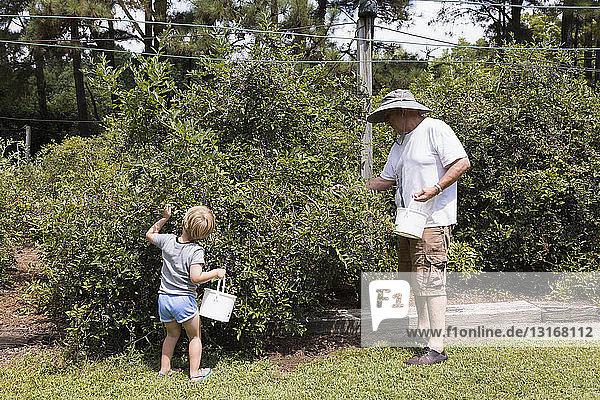 Junge und Großvater pflücken Blaubeeren auf Obstplantage