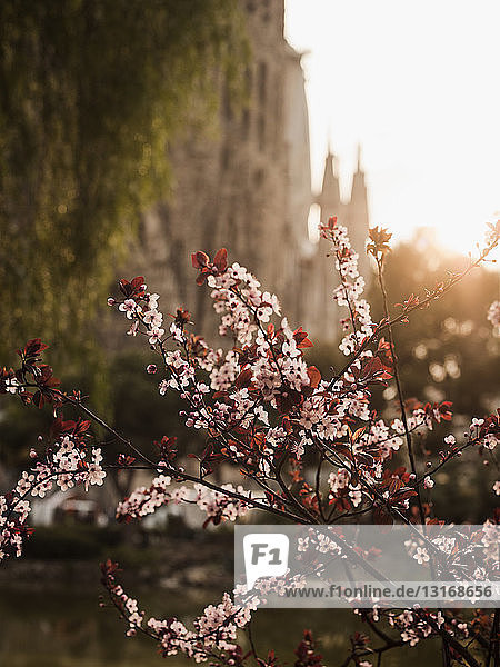 View of pink blossom in front of Sagrada Familia at sunset  Barcelona  Spain