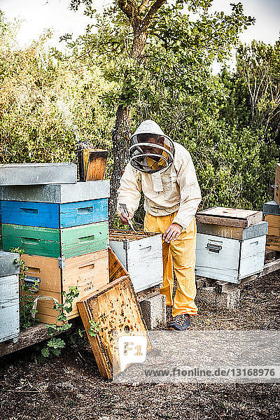 Mann in Imkerkleidung arbeitet an einem Bienenstock voller Bienen