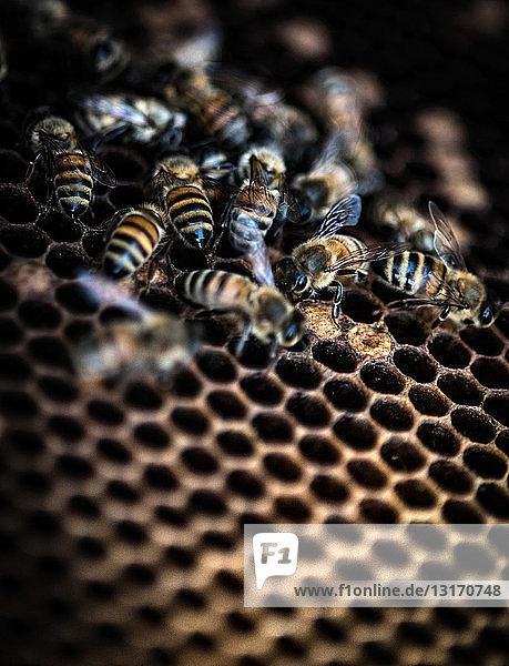 Bienen bei der Arbeit im Bienenstock  Nahaufnahme