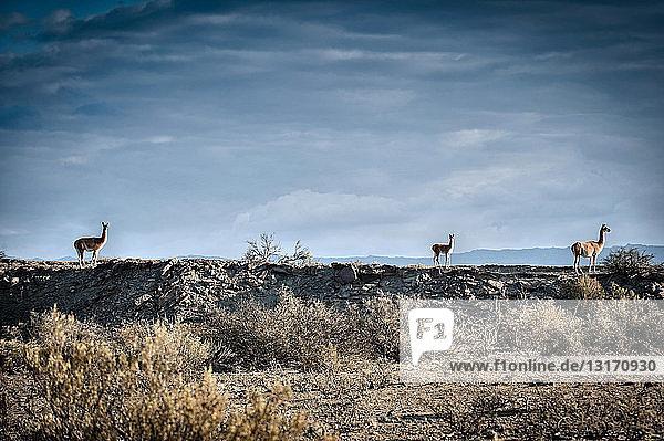 Seitenansicht von Guanako am Horizont  Valle de la Luna  Provinz San Juan  Argentinien