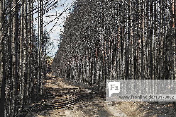 Germany  Brandenburg  Treuenbrietzen  Forest after forest fire