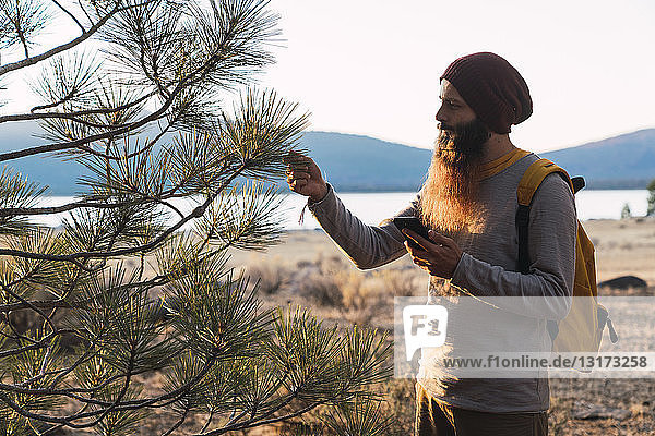 USA  North California  bearded man with cell phone examining a tree near Lassen Volcanic National Park