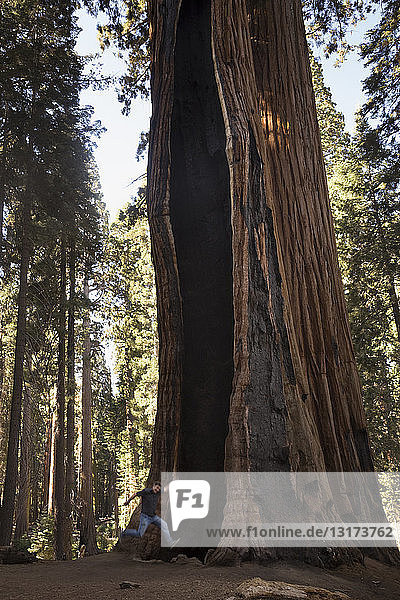 USA  Kalifornien  Sequoia-Nationalpark  Sequoia-Baum und springender Mann