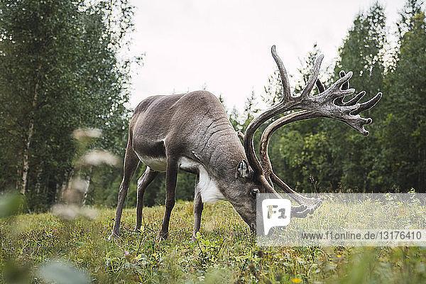 Finnland  Lappland  Rentierweide in ländlicher Landschaft