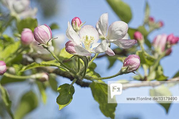 Apfelbaum  Apfelblüten