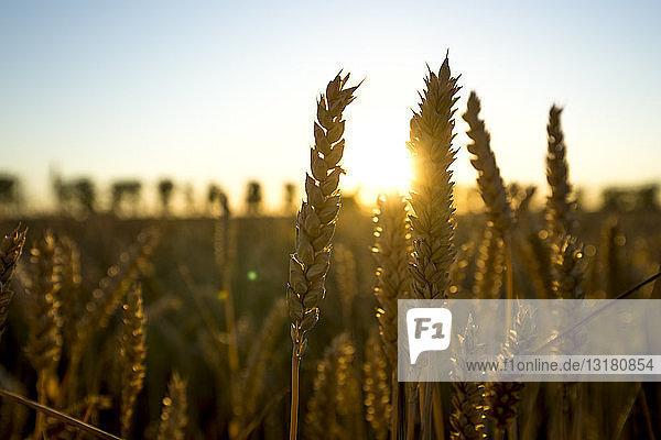 Weizenähren bei Sonnenuntergang