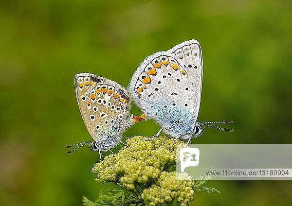 Albanien  Valbona-Nationalpark  gemeine blaue Schmetterlinge beim Kopulieren