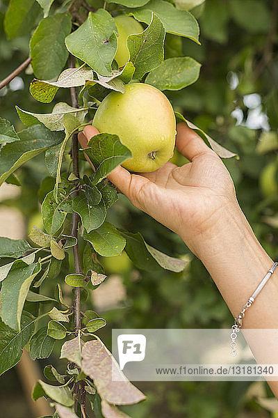 Apfel von Hand vom Baum pflücken