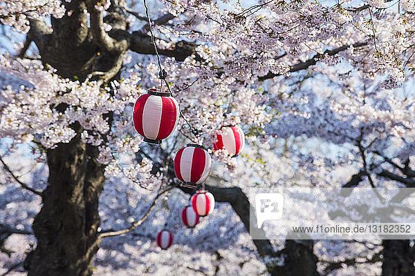 Hokkaido  Hakodate  Papierlaterne  die in den blühenden Kirschbäumen hängt