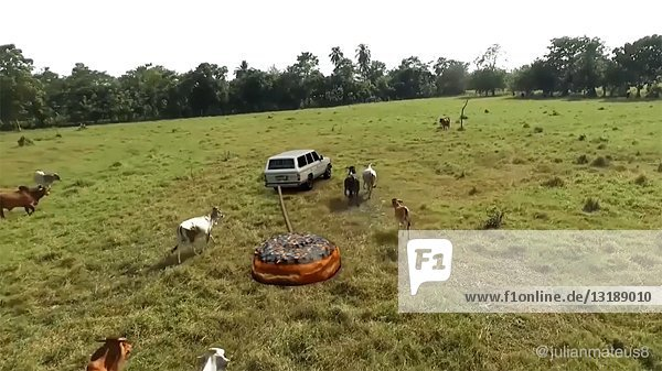Cows Chasing Doughnut Being Pulled by Car in Field  CGI Effect