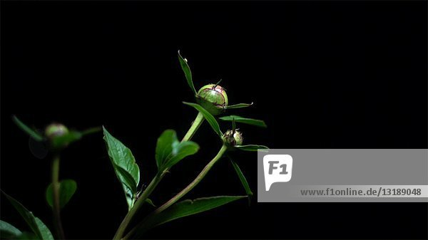 Ants Crawling on Peony Flowers at Night