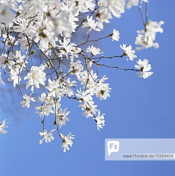 Kirschblüten gegen klaren Himmel
