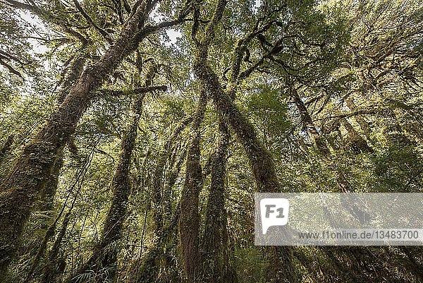 Patagonische Zypresse (Fitzroya cupressoides) mit Moos und Flechten im gemäßigten Regenwald  Carretera Austral  Pumalín Park  Chaitén  Región de los Lagos  Patagonien  Chile  Südamerika