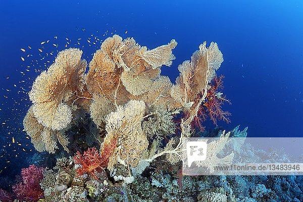 """Riffdach mit Gruppe Gorgonien (Annella mollis) und Klunzinger Weichkorallen (Dendronephthya klunzingeri)  Rotes Meer  Ã""""gypten  Afrika"""