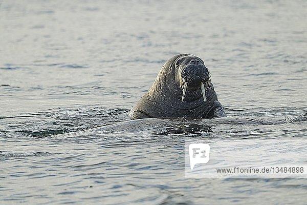 Walross (Odobenus rosmarus)  Insel Moffen  Moffen Naturreservat  Spitzbergen Inselgruppe  Svalbard und Jan Mayen  Norwegen  Europa