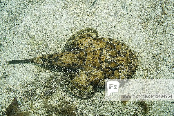 Seeteufel (Lophius piscatorius) liegt auf Sandgrund  Norwegisches Meer  Nordatlantik  Norwegen  Europa