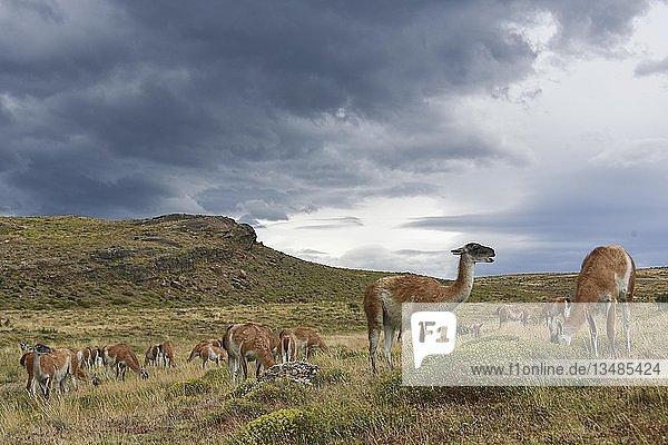 Guanakos (Lama guanicoe) nach Regen  Nationalpark Torres del Paine  Patagonien  Chile  Südamerika