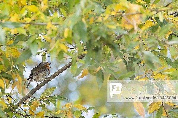 Singendes Rotkehlchen (Erithacus rubecula) auf Zweig  Herbstlaub  Hessen  Deutschland  Europa