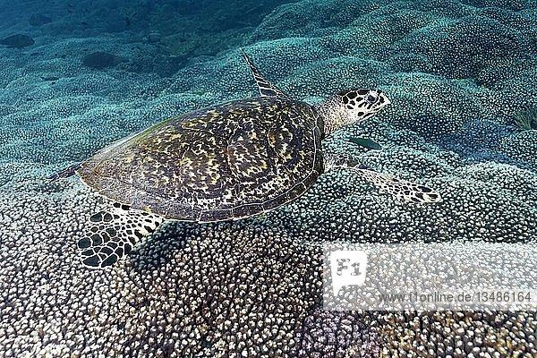 Echte Karettschildkröte (Eretmochelys imbricata),  schwimmt über Korallen-Riffdach,  Daymaniyat Inseln Naturreservat,  Indischer Ozean,  Khawr Suwasi,  Al-Batina Provinz,  Oman,  Asien