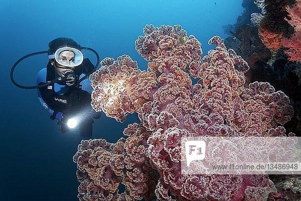 Taucher mit Lampe betrachtet große Weichkoralle (Dendronephthya mucronata)  rot  Großes Barriereriff  Pazifik  Australien  Ozeanien