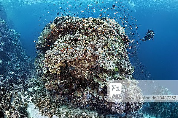 """Taucherin  riesiger Korallenblock aus verschiedenen Steinkorallen (Scleractinia)  Schwarm Fahnenbarsche (Anthiinae) Rotes Meer  Ã""""gypten  Afrika"""