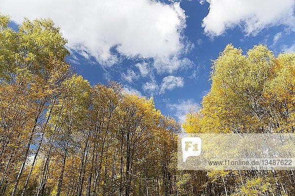Herbstwald am Walderlebniszentrum Ziegelwiesen  Füssen  Bayern  Deutschland  Europa