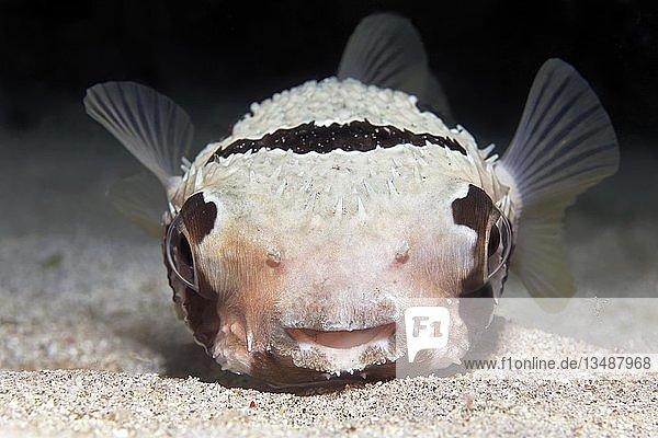 Masken-Igelfisch (Diodon liturosus) von vorne  Pazifik  Queensland  Australien  Ozeanien