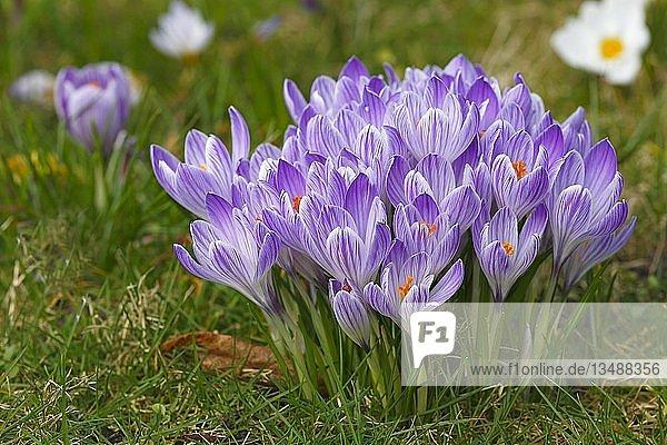Blühende Frühlings-Krokusse (Crocus vernus)  Schleswig-Holstein  Deutschland  Europa
