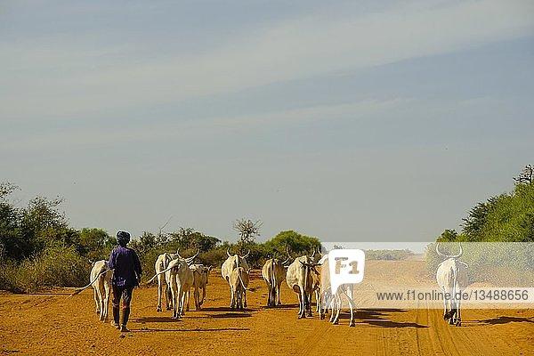 Hirte führt seine Rinderherde auf einer Schotterstraße  Bambilor  Region Dakar  Senegal  Afrika