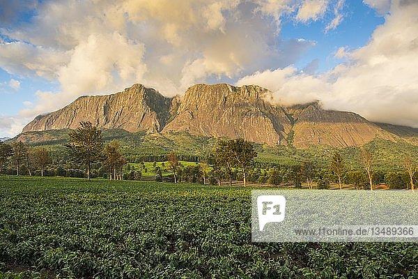 Teeplantage am Mount Mulanje  Malawi  Afrika