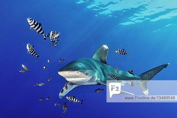 Oceanic whitetip shark (Carcharhinus longimanus) with Pilot Fish (Naucrates ductor)  Red Sea  Egypt  Africa