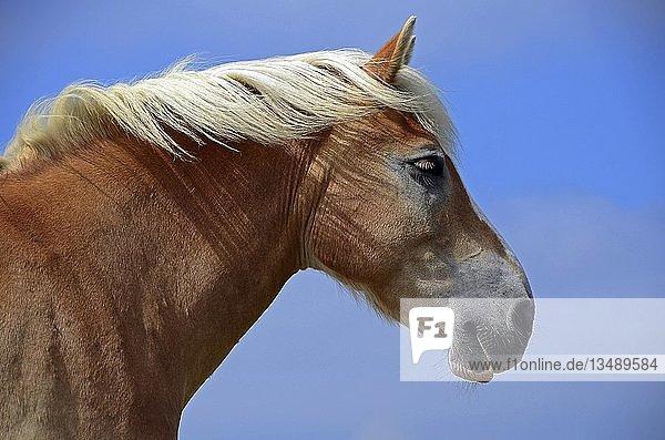 Braunes Pferd (Equus)  Tierportrait  Hallig Hooge  Schleswig-Holstein  Deutschland  Europa