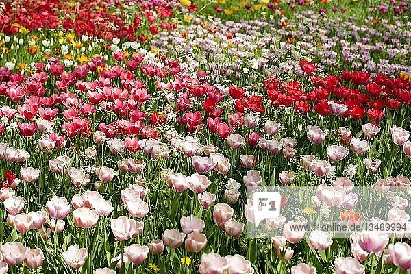 Blühende Tulpenwiesen im Frühling  Insel Mainau  Bodensee  Baden-Württemberg  Deutschland  Europa
