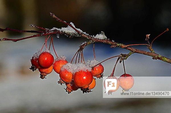 Rote Zieräpfel (Malus-Hybride) mit Schnee  Schleswig-Holstein  Deutschland  Europa