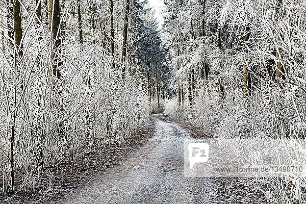 Raureif im Wald mit Waldweg  Watterdingen  Baden-Württemberg  Deutschland  Europa