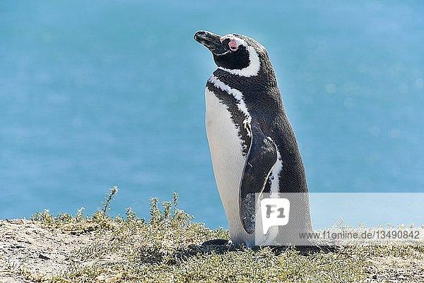 Magellan-Pinguin (Spheniscus magellanicus)  Pinguinkolonie Punta Tombo bei Pininsula Valdez  Patagonien  Ostküste  Atlantischer Ozean  Argentinien  Südamerika