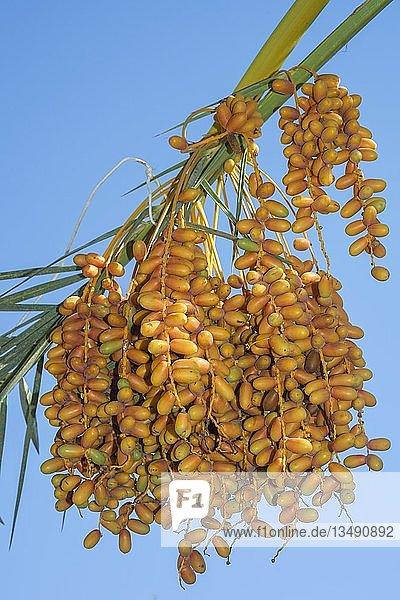 """Reife gelbe Datteln  Echte Dattelpalme (Phoenix dactylifera)  Ã""""gypten  Afrika"""