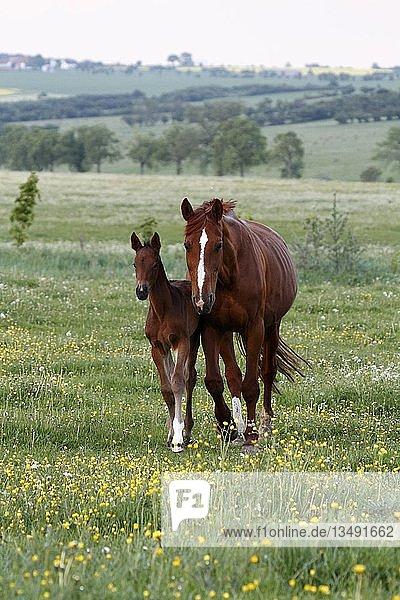 Pferd und Fohlen grasen auf einer Wiese