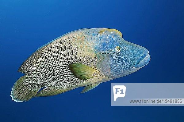 Adulter Napoleon-Lippfisch (Cheilinus undulatus)  Großes Barriereriff  Pazifik  Australien  Ozeanien