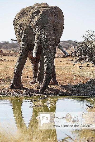 Elefantenbulle (Loxodonta africana) am Wasserstelle  Erindi Reservat  Namibia  Afrika