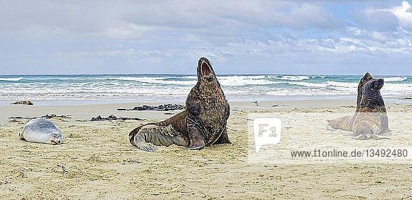 Neuseeländische Seelöwen (Phocarctos hookeri)  Sandstrand der Cannibal Beach  New Haven  Catlins  Südinsel  Neuseeland  Ozeanien