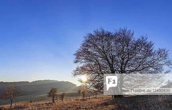 Sonne geht hinter einem Baum am Mont Salève unter  Herbst  Haute-Savoie  Frankreich  Europa