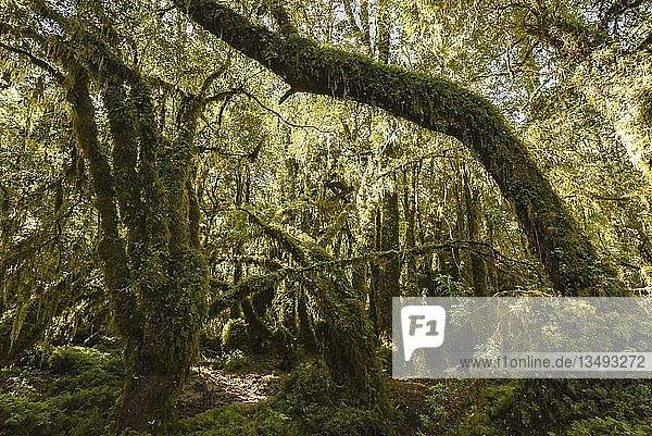 El Bosque Encantado  verzauberter oder verwunschener Wald  gemäßigter Regenwald mit Moos und Flechten  Carratera Austral  Queulat National Park  Cisnes  Región de Aysén del General Carlos Ibáñez del Campo  Chile  Südamerika
