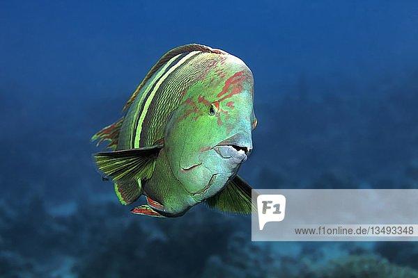 """Spiegelfleck-Lippfisch (Coris aygula) von vorne  Rotes Meer  Ã""""gypten  Afrika"""