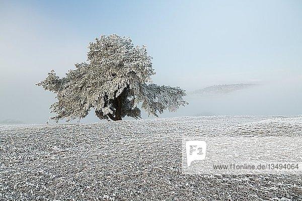 Alte Kiefer (Pinus) mit Raureif  Hegau  Watterdingen  Baden-Württemberg  Deutschland  Europa