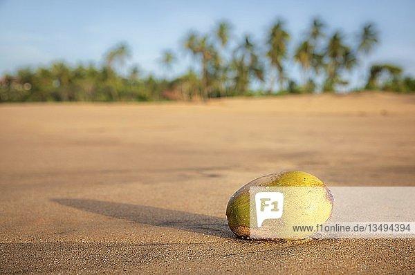 Kokosnuss am Strand von Kahandamodara  Sri Lanka  Asien