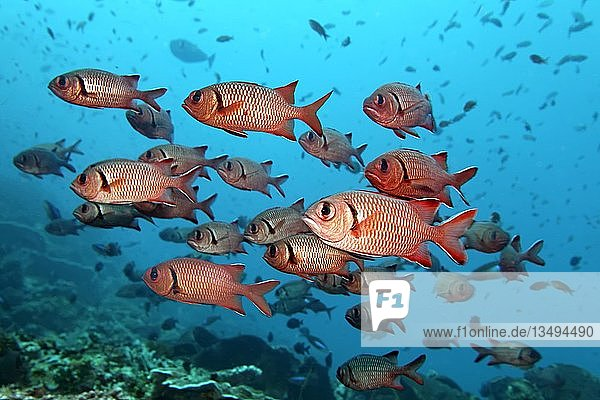 Schwarm Balken-Soldatenfische (Myripristis jacobus)  Pazifik  Queensland  Australien  Ozeanien